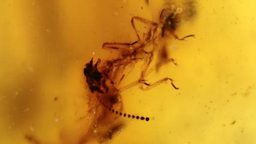 Termiten als Inklusen im Bernstein