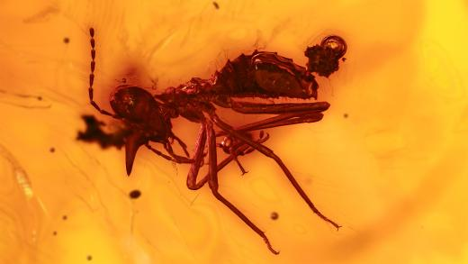 Termiten, seltener Nasensoldat als Bernstein Inkluse