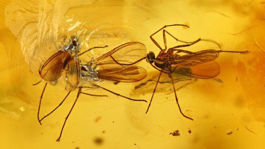 Mücken als Inklusen im Baltischen Bernstein
