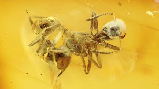 Ameisen als Einschlüsse im Baltischen Bernstein