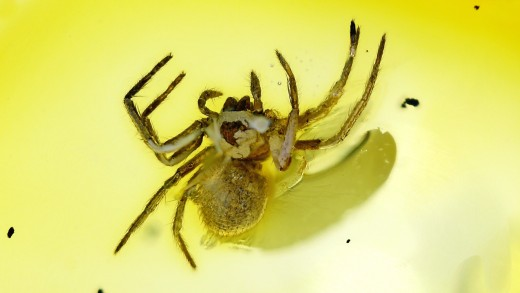 Spinne als Inkluse