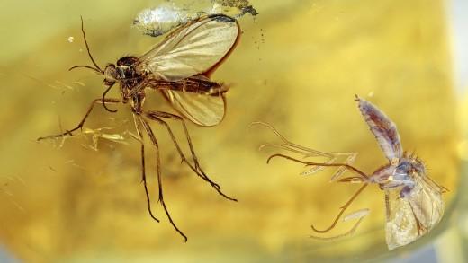Zwei Mücken im Bernstein als Inklusen