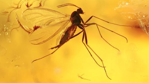 Mücke als Inkluse